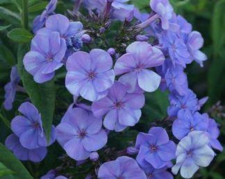 phlox-paniculata-sweet-summer-ocean-bugas-langvirag