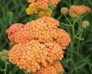 achillea-millefolium-terracotta-cickafark