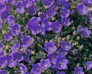 campanula-portenschlagia-deep-blue-dalmat-harangvirag