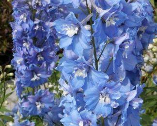 delphinium-cultorum-excalibur-light-blue-with-white-bee-szarkalab