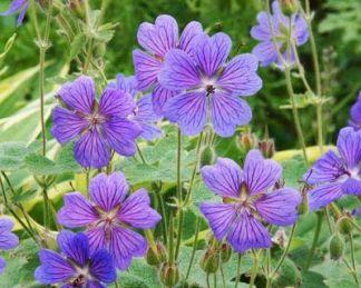 geranium-renardii-philippe-vapelle-golyaorr