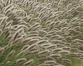 pennisetum-alopecuroides-lady-u