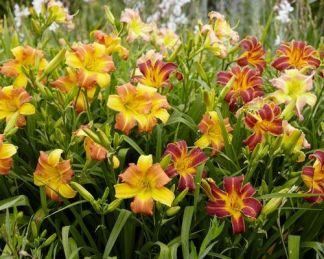 sásliliom fajták társítás tarka színekben