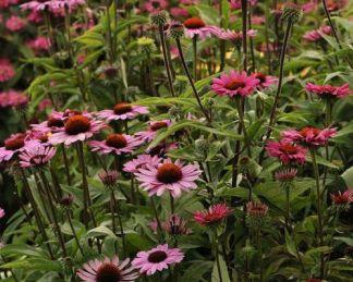 Echinacea_purpurea_ruby-star_kasvirag
