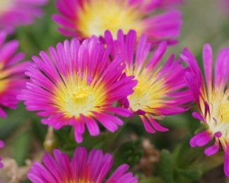 delosperma-hot-pink-wonder-delvirag