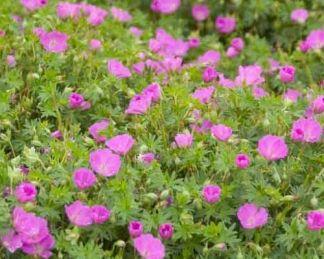geranium-sanguineum-max-frei-piros-golyaorr
