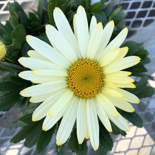 leuchanthemum-western-star-gemini-margareta