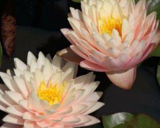 nymphaea-blushing-bride-tavirozsa