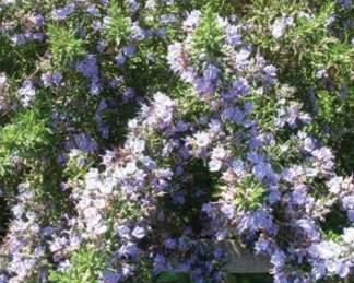 rosmarinus-officinalis-foxtail-rozmaring