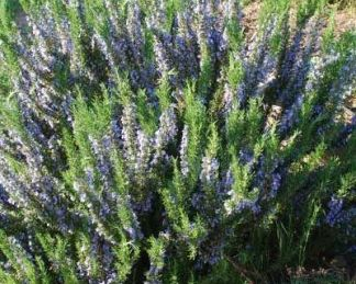 rosmarinus-officinalis-upright-blue-kerti rozmaring