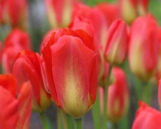 tulipa-red-alert-fosteriana-tulipan