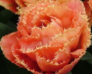 tulipa-sensual-touch-teltviragu-tulipan