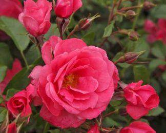 Bad_Birnbach floribunda ágyás rózsa