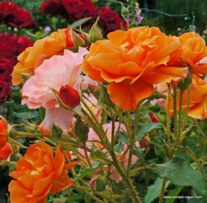 Bengali ágyás rózsa