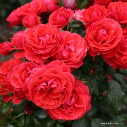 Cherry_Girl ágyás rózsa
