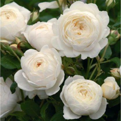Claire-Austin rose