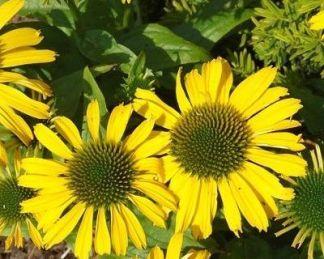 Echinacea-sunseekers-yellow-kasvirag