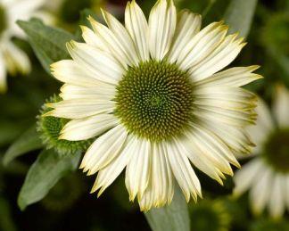Echinacea_purpurea_prairie-splendor-compact-white-kasvirag
