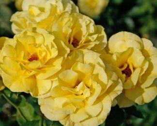 Friesia ágyás rózsa