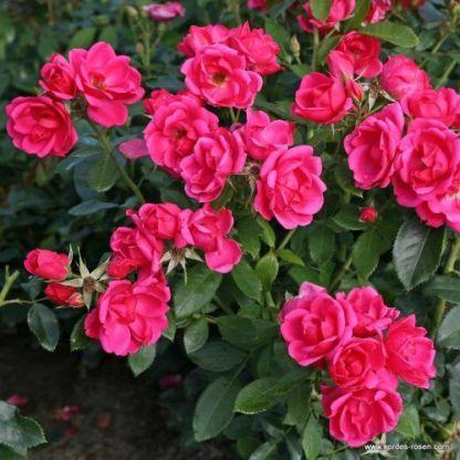 Gartenfreund ágyás rózsa
