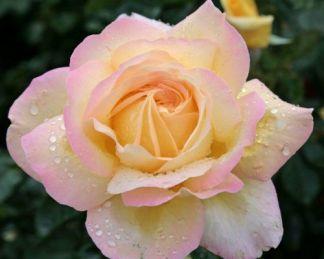 Gloria_Dei teahibrid rózsa