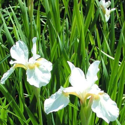 Iris-sibirica-Alba