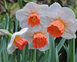 Narcissus-brook-ager-kisviragu-narcisz