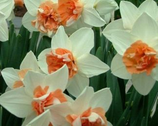 Narcissus-candy-princess-duplaviragu-narcisz