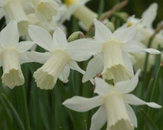 Narcissus-elka-trombitaviragu-narcisz