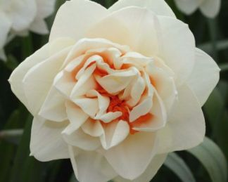 Narcissus-gay-kybo-duplaviragu-narcisz1