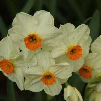 Narcissus-geranium-tazetta-narcisz