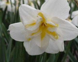 Narcissus-lemon-beauty-osztott-koronaju-narcisz