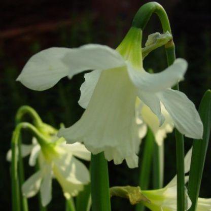 Narcissus-wpmilner-trombitaviragu-narcisz