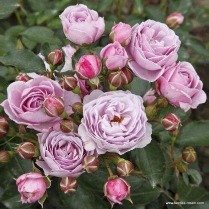 Nautica floribunda ágyás rózsa