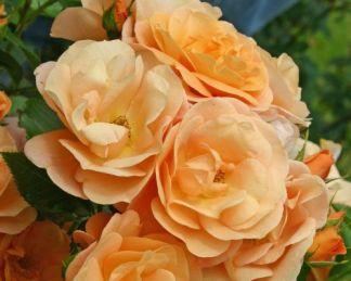 Portoroz floribunda ágyás rózsa