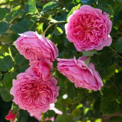 Princess Alexandra of Kent - David Austin angol rózsa 1 Szokatlanul nagy virágú, élénk rózsaszín rozettás David Austin angol rózsa díjnyertes illattal.  <em>kiszerelés: szabadgyökerű</em>