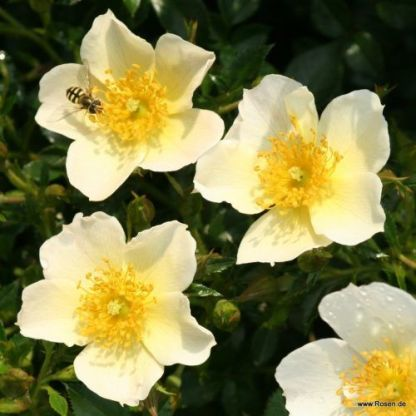 Sonnenroeschen talajtakaró rózsa