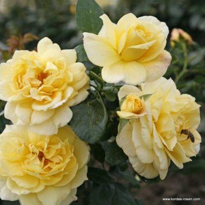 Sunstar ágyás rózsa