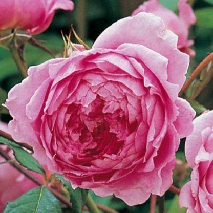 alan titchmarsh david austin rózsa