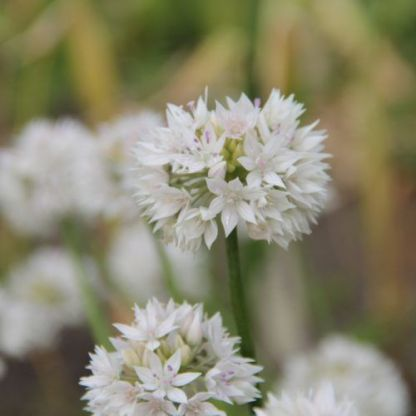 allium-graceful-beauty-diszhagyma