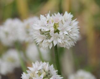 allium-graceful-beauty-diszhagyma
