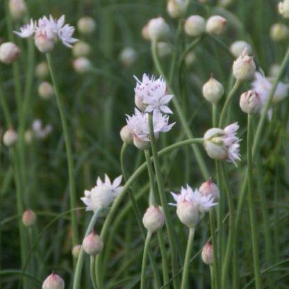 allium-graceful-beauty-diszhagyma2