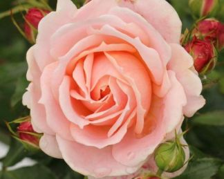 cremosa_ ágyás rózsa