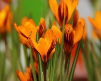 crocus-balansae-orange-monarch-krokusz
