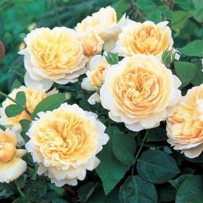 crocus_rose david austin