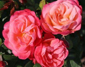 enjoy ágyás rózsa