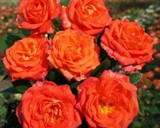 feurio teahibrid rózsa