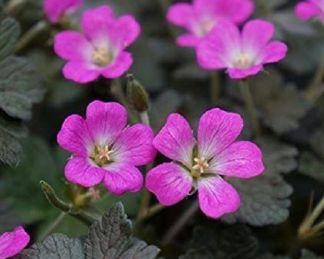 geranium-orkney-cherry-golyaorr