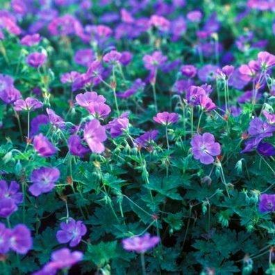 geranium-rozanne-golyaorr