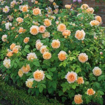 grace david austin rózsa